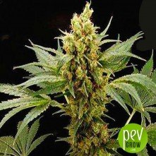 Pure Power Plant - Professional Seeds