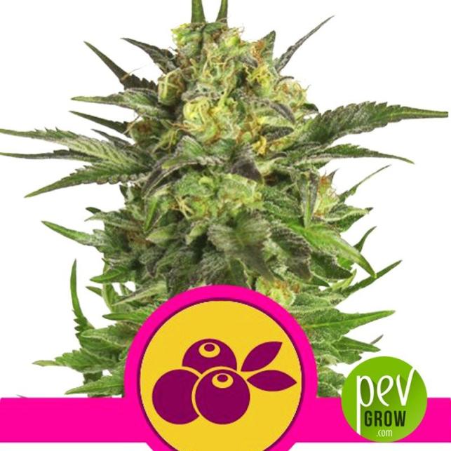 Haze Berry - Royal Queen Seeds
