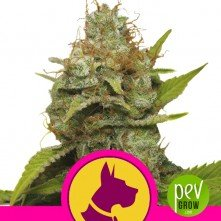 Kali Dog - Royal Queen Seeds