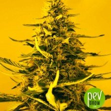 white-widow-nirvana-seeds