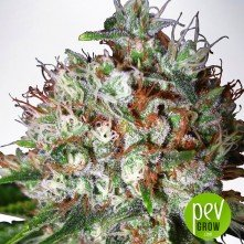 big-bud-xxl-ministry-of-cannabis