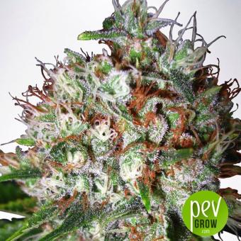big-bud-xxl-ministry-of-cannabis
