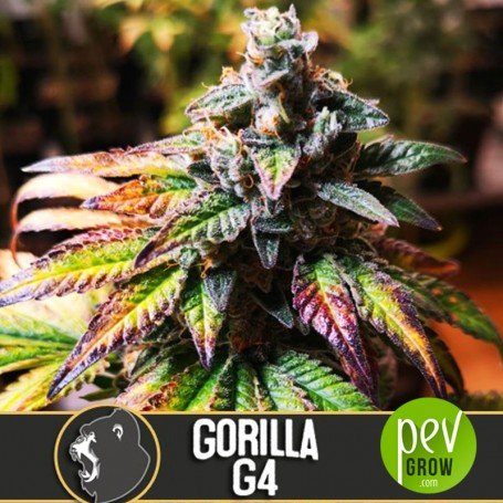 gorilla-glue-4-blimburn-seeds