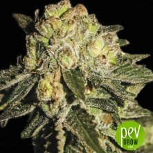super-mandarina-exclusive-seeds