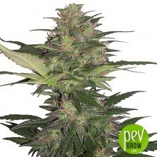 Red Dwarf Auto Regular - Buddha Seeds
