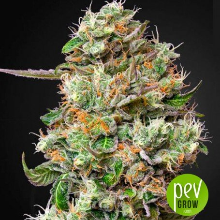 King's Kush CBD Auto - Green House Seeds