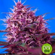 Auto Red Poison - Sweet Seeds
