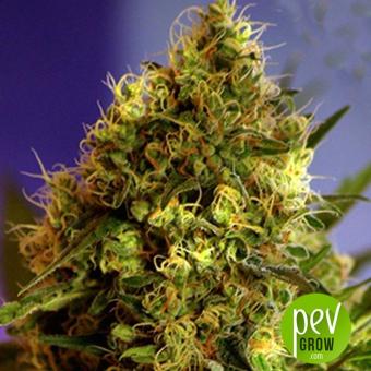 Big Devil  1 (Auto) - Sweet Seeds