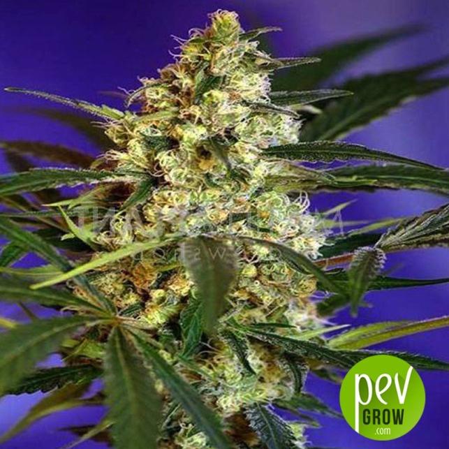 Fast Bud 1 (Auto) - Sweet Seeds