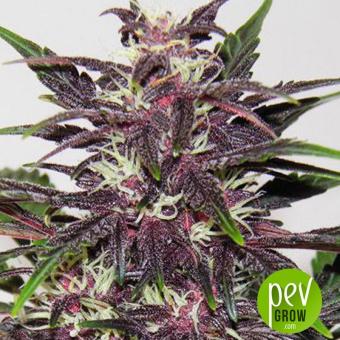 Purple Kush Auto - Buddha Seeds
