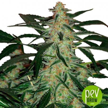 Deimos Auto Regular - Buddha Seeds