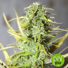Afghan Kush Ryder (Autofloreciente) - World of Seeds
