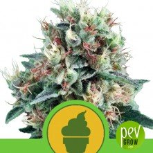 Royal Creamatic - Royal Queen Seeds