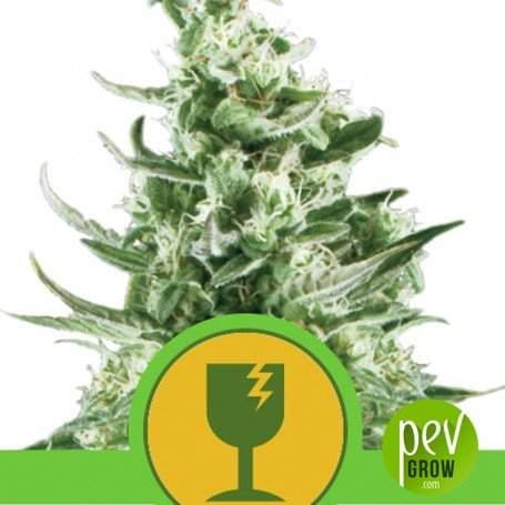 Critical Auto - Royal Queen Seeds