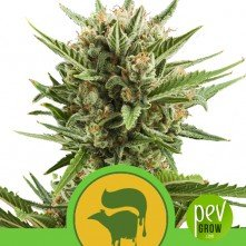 Sweet Skunk Automatic - Royal Queen Seeds