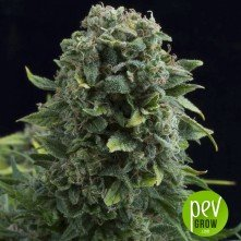 White Cheese Auto - Dinafem Seeds