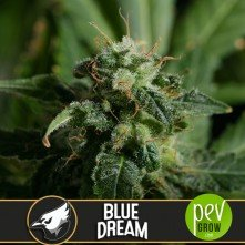 Blue Dream - Blimburn Seeds