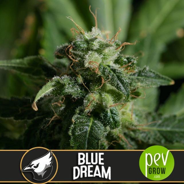 Blue Dream - Blimburn Seeds