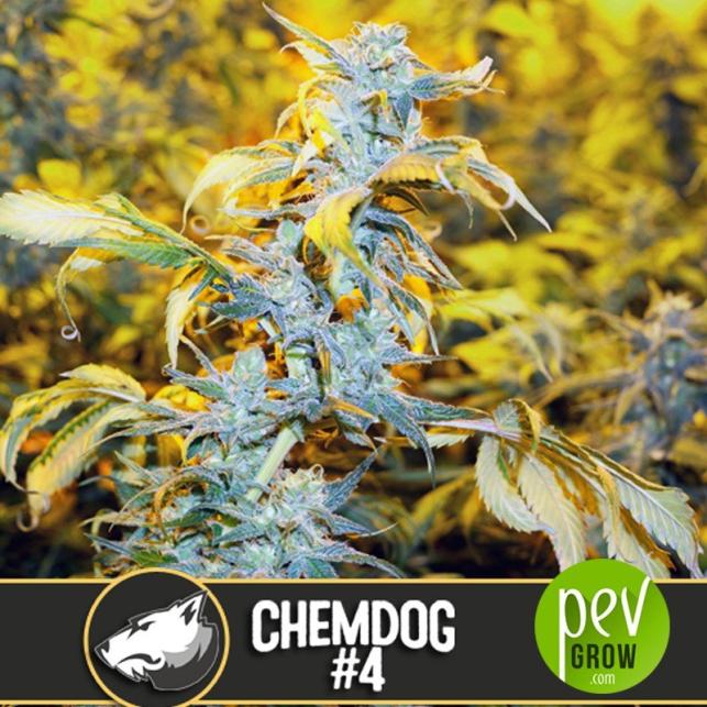 Chemdog 4 - Blimburn Seeds