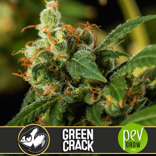 Green Crack - Blimburn Seeds