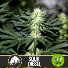 Sour Diesel - Blimburn Seeds