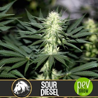 Sour Diesel - Blimburn Seeds