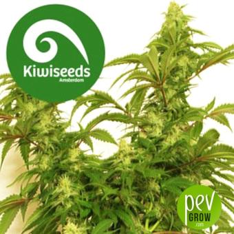 Little Dipper Autoflowering - Kiwi Seeds