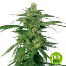 Holland's Hope - White Label Seeds