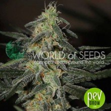 Northern Light x Big Bud Early Harvest - World of seeds