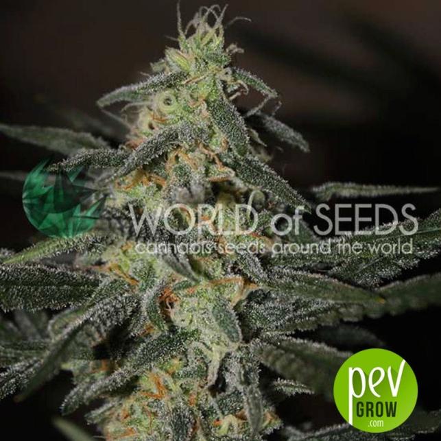Northern Light x Big Bud Early Harvest - World of seeds