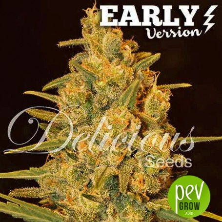 Critical Sensi Star Early Version - Delicious Seeds