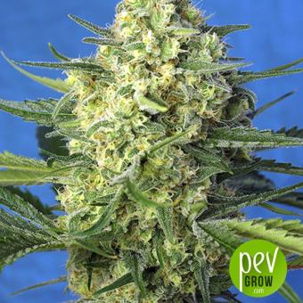 Jack 47 XL Auto - Sweet Seeds