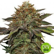 Fruit Cake Autoflower - Seed Stockers