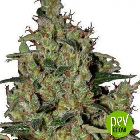 Auto Critical Seedmakers