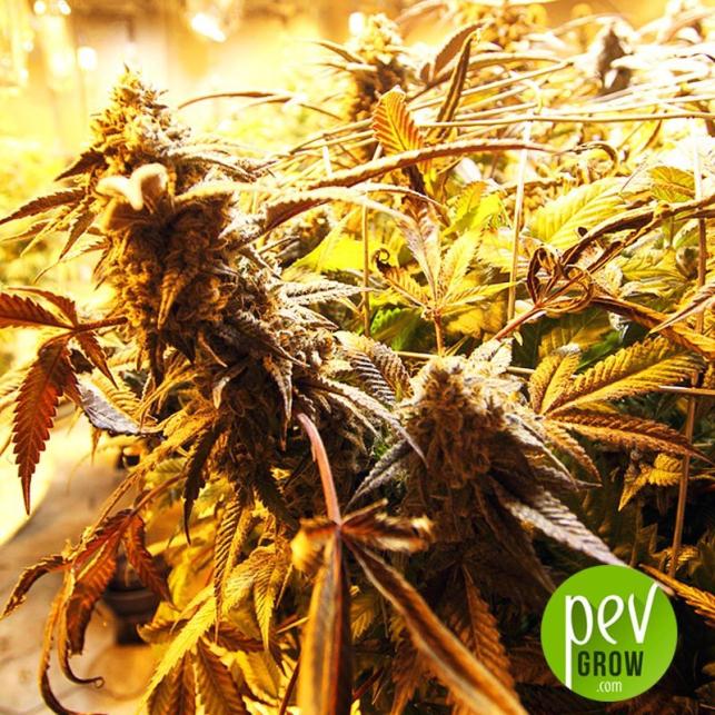 Black Domina x New York Diesel - Spanish Seeds