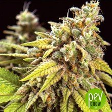 Doctor Jamaica Auto - Vision Seeds