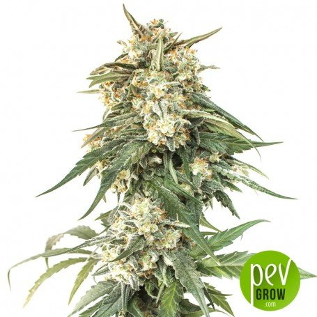 BCN Critical XXL Fast - Seed Stockers