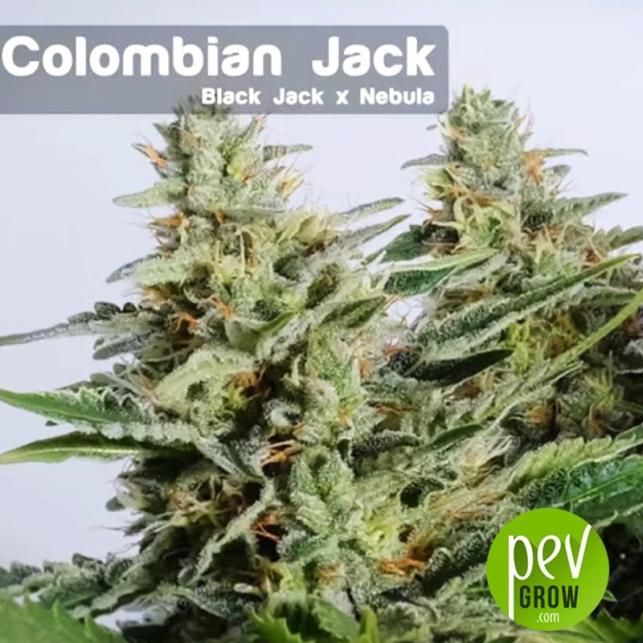 Colombian Jack planta - Kannabia