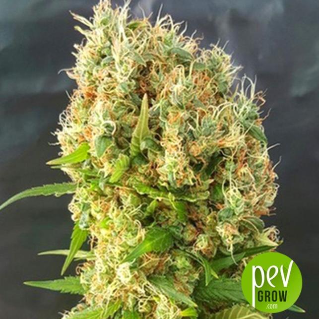 Chemdog Gorilla - Expert Seeds