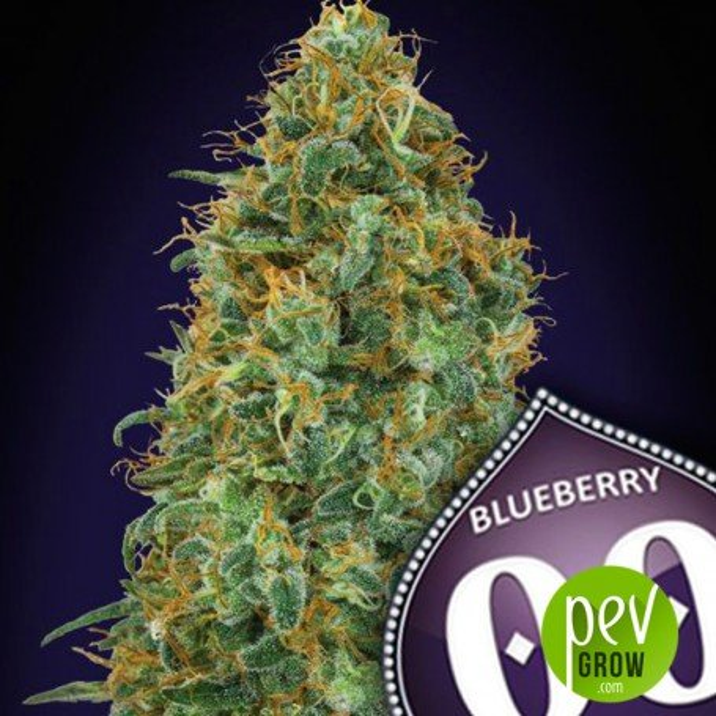 Blueberry - 00 Seeds
