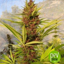 PCK - Ace Seeds