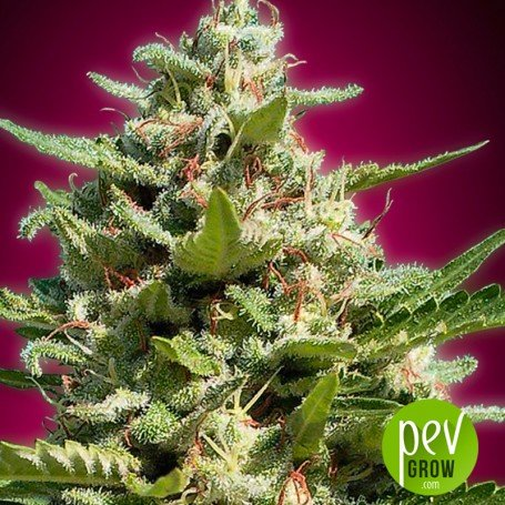 White Kush Advanced Seeds
