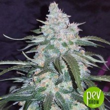Pineapple Punch Auto Seeds
