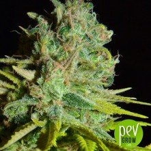 Big Lights Biohazard Seeds