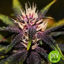Purplediol Auto CBD - Elite Seeds