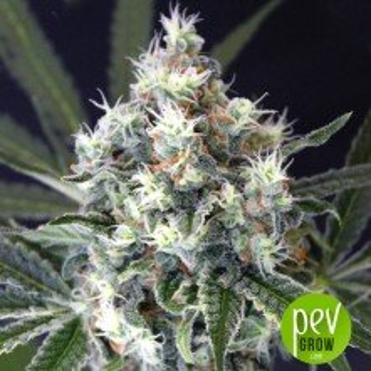 Medxotic Pure CBD - Exotic Seeds