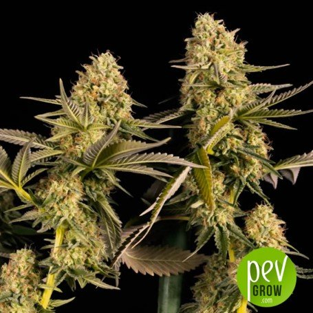 Mota CBD Rich - LaMota Seeds