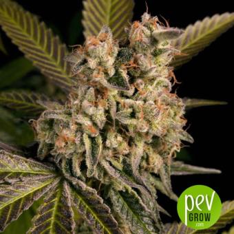 Mota CBD Rich Autoflowering - LaMota Seeds