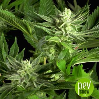 Gorilla CBD - Dinafem Seeds