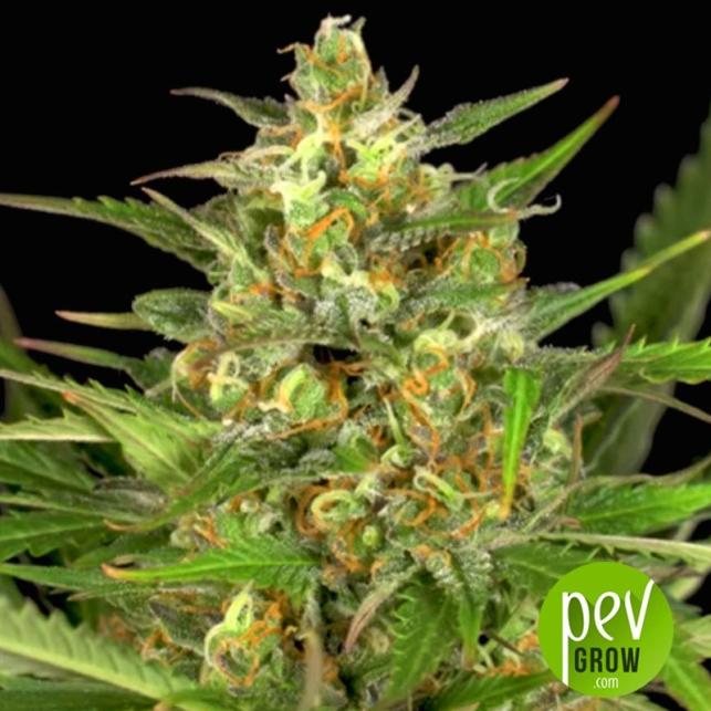 Gorilla Autoflowering - Dinafem Seeds
